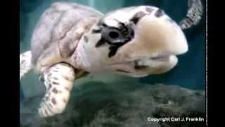 Hawksbill sea turtles at Mazunte turtle aquarium