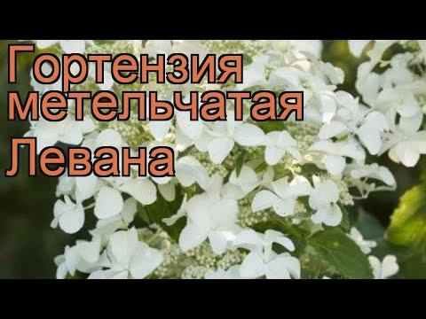 Гортензия метельчатая Левана (levana) 🌿 обзор: как сажать, саженцы гортензии Левана