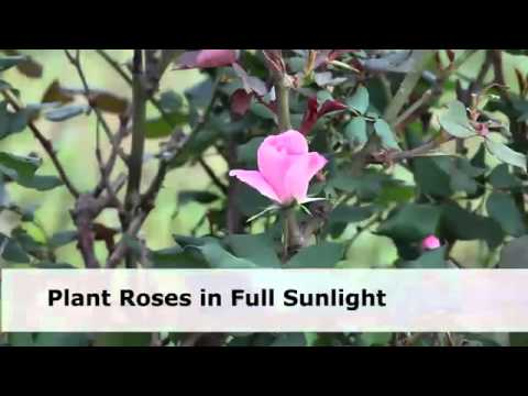 Best Flowering Shrubs for Summer VideoAbout com