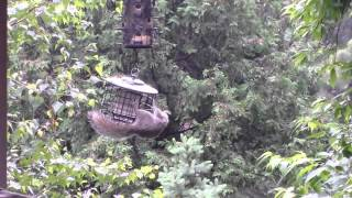Stokes Select Squirrel Proof Suet Feeder Works!