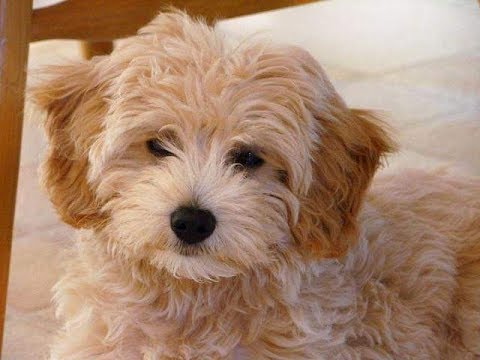 Goldendoodle Dog Breed//Dog breed variety and Information