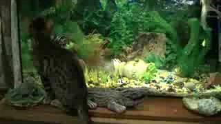 Бенгальский котенок. Леопардик