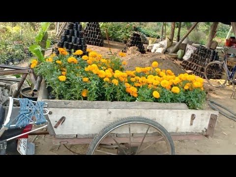Diwali Nursery Visit With Plants Name And Price    Best Flowers Shopping
