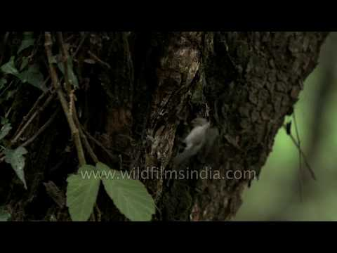 Himalayan Flycatcher does fantastic aerial maneuvers to fly food to nest-hole