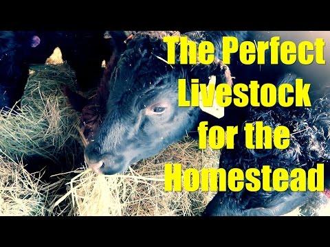 The Perfect Livestock for the Homestead: Dexters, American Guinea Hogs, Katahdin Sheep
