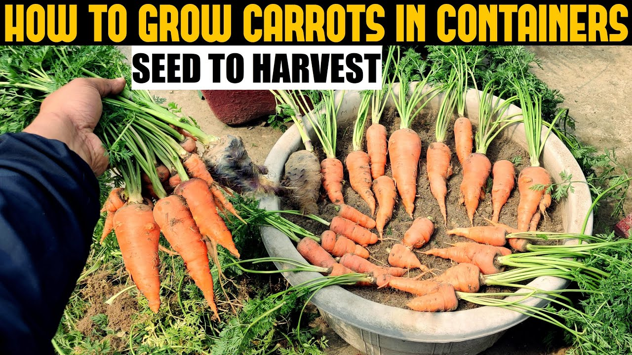 Download How To Grow Carrots At Home   SEED TO HARVEST