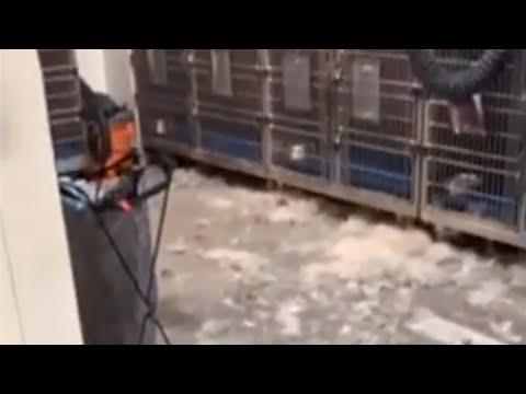Siberian Husky grooming session leaves massive fur mess