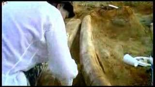 World largest tusks!