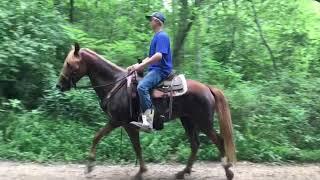 Ginger well broke ky mtn gaited trail horse for sale