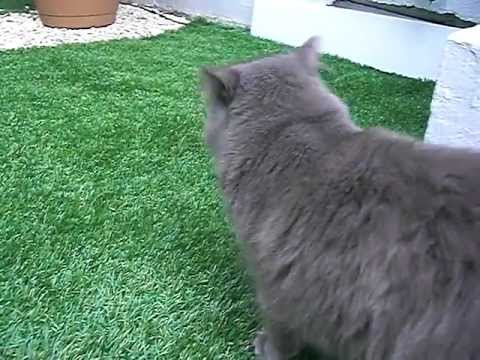 theo gentil chat nebelung