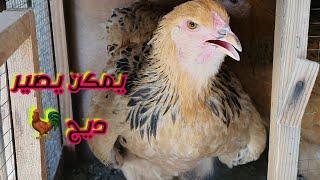 تعالوا شوفوا الدجاجات وين مختلات البيض 🤣