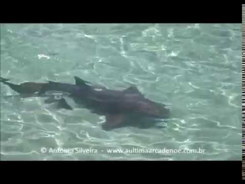 Nurse Shark (Ginglymostoma cirratum) Sunny Isles Beach Miami 28 6 2017  Antonio Silveira