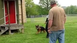 German Shepherd Training To Run And Bite