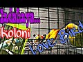 Koloni Burung Love Bird Indah Banget Warnamu  Mp3 - Mp4 Download