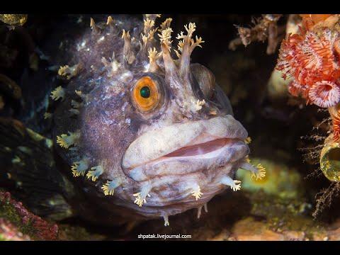 Вопрос: К какому виду относятся рыбы собачки?