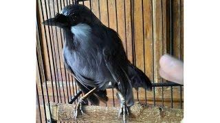 Burung Poksay Oke Punya (Garrulax Leucolophus 28)