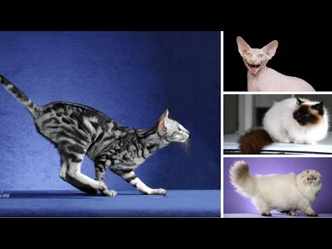 10 Most Popular Cat Breed in America!