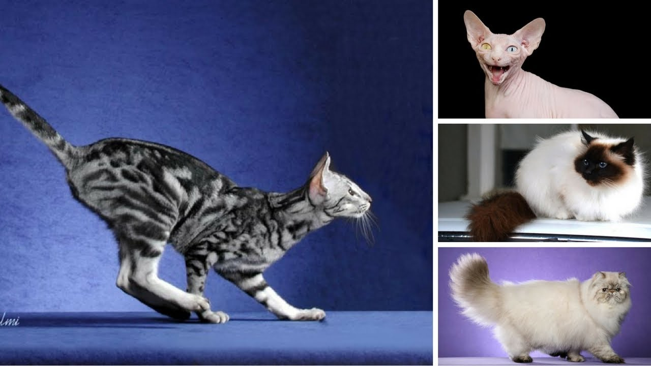 10 Most Popular Cat Breed in America