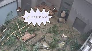 4/26(8)  シャンシャンとお兄ちゃん🍼.・*タイム thumbnail
