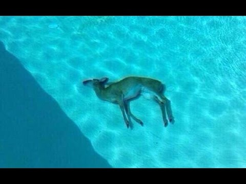 WOMAN GIVES CPR RESUSCITATION TO A DROWNED DEER