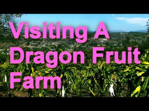 Visiting A Dragon Fruit Farm