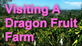 Visiting A Dragon Fruit Farm