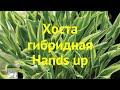 Хоста гибридная Хендс ап. Краткий обзор, описание характеристик, где купить hosta hybrida Hands up