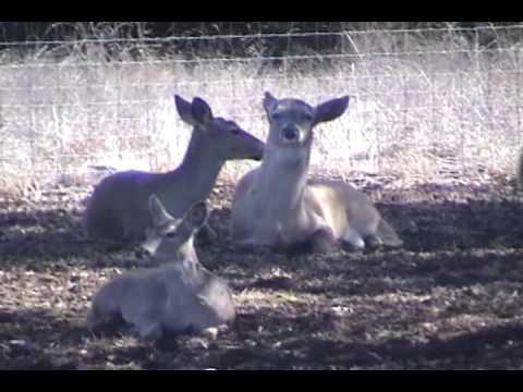 Bucks Dropping Antlers - Whitetail Deer of Texas