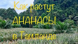 Как растут АНАНАСЫ в Таиланде. Провинция Краби, южный Таиланд.