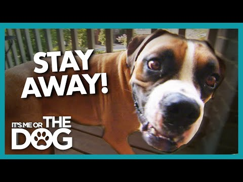 Boxer Dog is Guardian of the Balcony! | It's Me or the Dog