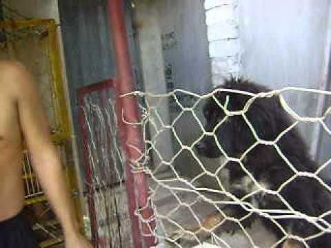 Trại chó Ngao Tây Tạng [A Hoàng - Quảng Ninh]