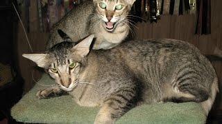 Ориентальная Кошка, Породы Кошек, описание, уход