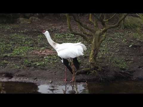 Siberian Crane / singing and dancing