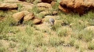 [Australia] Spacer po Alice Springs, kangur
