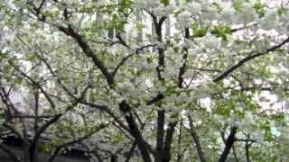 バンクーバー桜祭り