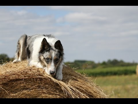 Ghost, my lovely border collie ♪♫ My amazing dog tricks ♥