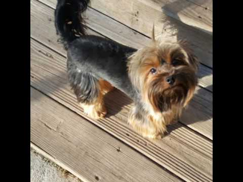 Teacup Yorkies Norfolk Va Youtube