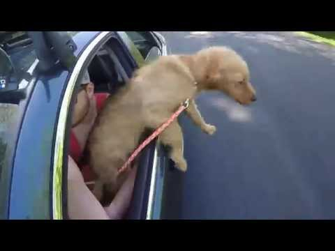Puppy Jumps Out of Moving Car