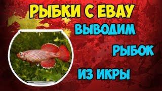🐠Живые рыбки с EBAY из Мальты! Пробуем вывести рыбок из икры с интернет магазина!