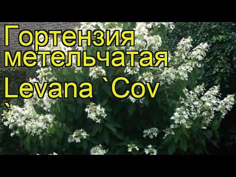 Гортензия метельчатая Левана Ков. Краткий обзор, описание hydrangea paniculata levana Levana 'Cov '