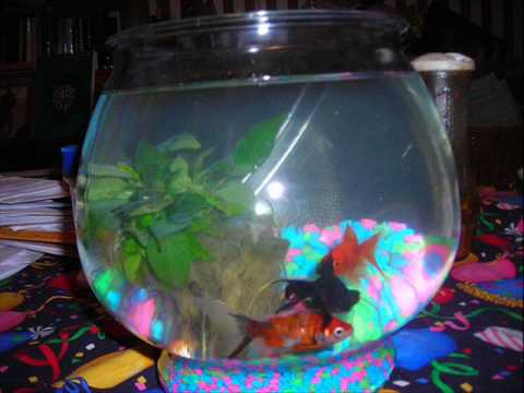Dogs blowing bubbles in fishbowl diving for goldfish no for Bubbles in fish bowl
