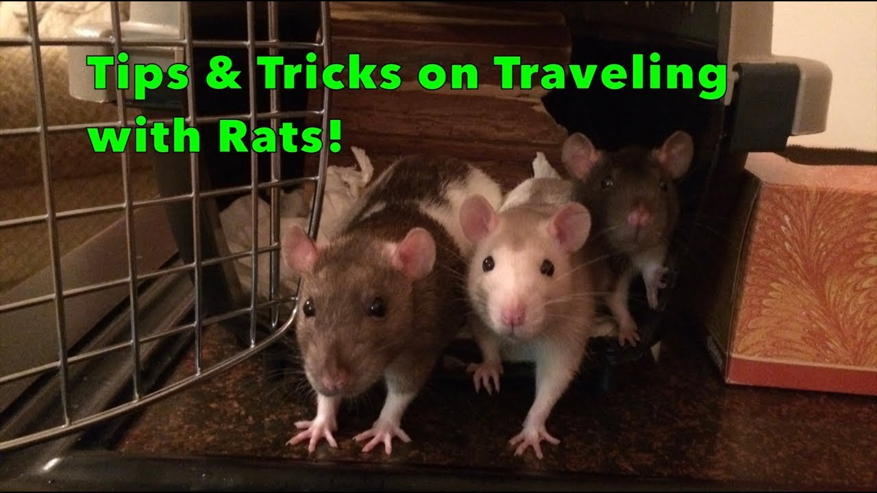 Traveling with rats - Rat Trixs - Do More With your Rats!