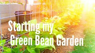 High Density Espalier Gardener - Green Beans 05-09-15  Update