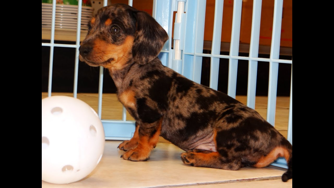 Miniature Dachshund Puppies Dogs For Sale In Columbus Macon