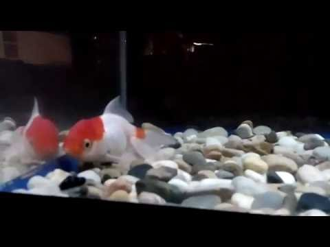 Help My Red Cap Goldfish Always Stay At The Bottom Of The Tank