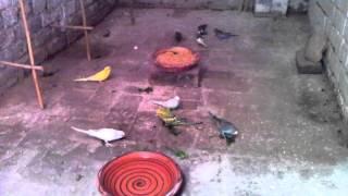 Love Birds Birds Planet Australian Bird parrot Parrots cages