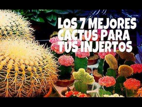 Los 7 Mejores Cactus Para tus injertos