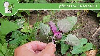 Baumspinat - Jungpflanzen - 29.06.18 (Chenopodium giganteum) - essbare Wildkräuter Bestimmung