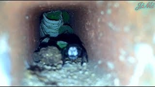 Leafcutter bee (Megachilidae) bees nest in brick pipes