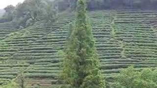 China, Hangzhou, tea terraces